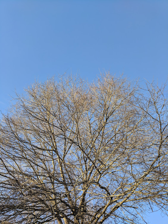 A naked tree in winter, seen against a cloudless blue sky.