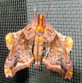 Moth on a window screen