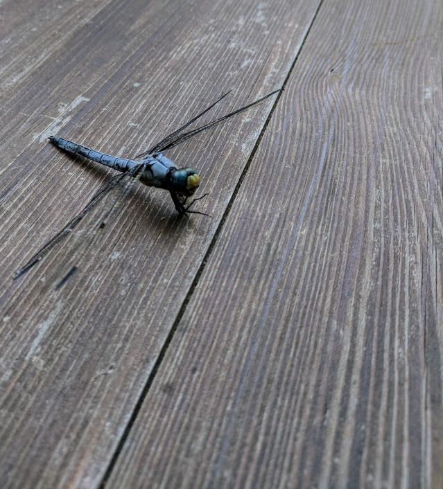 A dragonfly rests on a wooden floor.